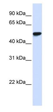 Western blot - WDR4 antibody (ab83552)