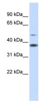 Western blot - C2ORF25 antibody (ab83554)