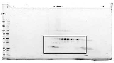 SDS-PAGE - VEGFC protein (Human) (ab83573)