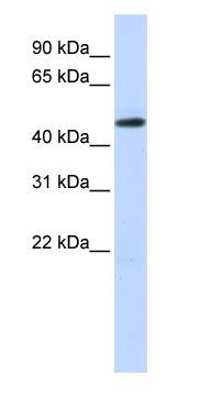 Western blot - TEA domain family member 2 antibody (ab83670)