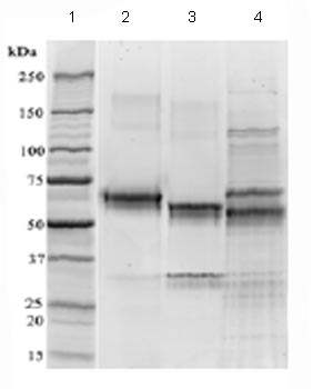 SDS-PAGE - CD134 / OX40 protein (Fc Chimera) (ab83676)
