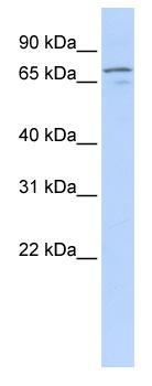 Western blot - NRG3 antibody (ab83704)