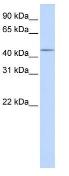 Western blot - SPOCK3 antibody (ab83713)