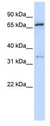 Western blot - TRIM23 antibody (ab83743)
