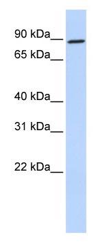 Western blot - Gephyrin antibody (ab83765)