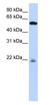 Western blot - PM20D2 antibody (ab83766)