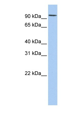 Western blot - DORFIN antibody (ab83775)