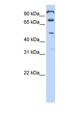 Western blot - FAM171A1 antibody (ab83777)
