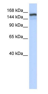 Western blot - NFKBIL2 antibody (ab83778)