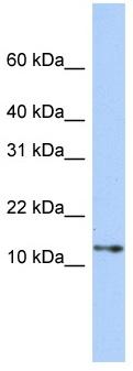 Western blot - G gamma14 antibody (ab83786)