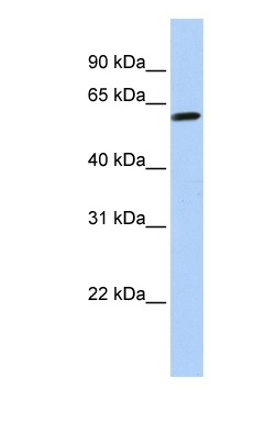 Western blot - TEKT4 antibody (ab83818)