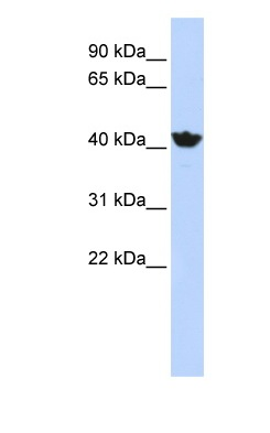 Western blot - ADH4 antibody (ab83819)