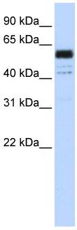 Western blot - PTBP1  antibody (ab83897)