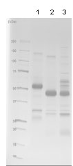 SDS-PAGE - CD40 protein (Fc Chimera Active) (ab83917)