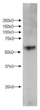 Western blot - kynurenine 3-monooxygenase antibody (ab83929)