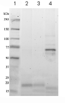 SDS-PAGE - IL5 protein (ab83941)