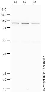 Western blot - CD31 antibody (ab83959)