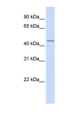 Western blot - LEF1 antibody (ab83964)