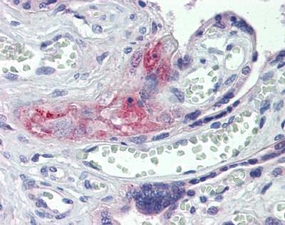 Immunohistochemistry (Formalin/PFA-fixed paraffin-embedded sections) - Anti-Thrombin antibody (ab83981)