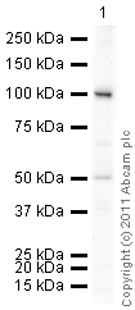 Western blot - Anti-Transferrin Receptor antibody (ab84036)