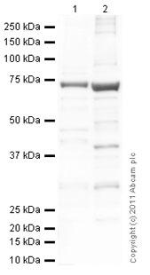 Western blot - PCSK9 antibody (ab84041)