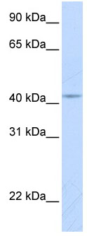 Western blot - COX10 antibody (ab84053)