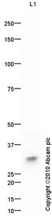 Western blot - RRAD antibody (ab84109)
