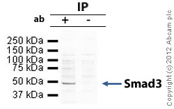 Immunoprecipitation - Anti-Smad3 antibody (ab84177)