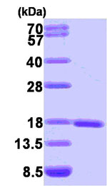 SDS-PAGE - Sumo 1 protein (Human) (ab84193)