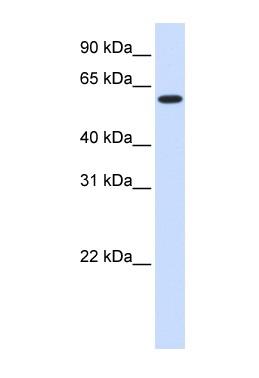 Western blot - UGT8 antibody (ab84288)