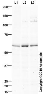 Western blot - APJ Receptor antibody (ab84296)