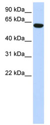 Western blot - CCDC11 antibody (ab84324)