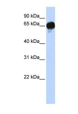 Western blot - DGKE antibody (ab84331)