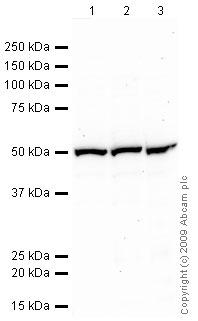 Western blot - gamma Tubulin antibody (ab84355)