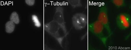 Immunocytochemistry/ Immunofluorescence - gamma Tubulin antibody (ab84355)