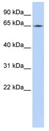 Western blot - Lamin B2 antibody (ab84366)