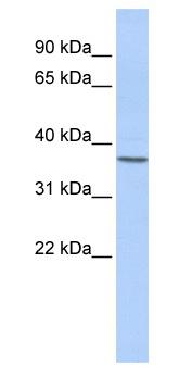 Western blot - MRG15 antibody (ab84520)