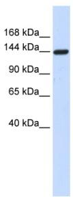 Western blot - DAAM1 antibody (ab84526)