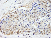Immunohistochemistry (Formalin/PFA-fixed paraffin-embedded sections) - FKBP52 antibody (ab84536)