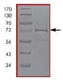 SDS-PAGE - CaMKII delta protein (Active) (ab84552)