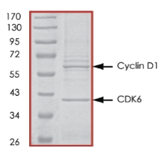 SDS-PAGE - CDK6 + CCND1 protein (Active) (ab84559)