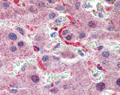 Immunohistochemistry (Formalin/PFA-fixed paraffin-embedded sections) - Anti-GPSM2 antibody (ab84571)
