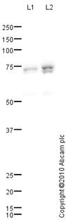 Western blot - COX1 / Cyclooxygenase 1 antibody (ab84602)