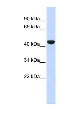 Western blot - Cytokeratin 19 antibody (ab84632)
