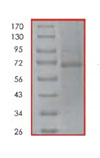 SDS-PAGE - Rel B protein (His tag) (ab84654)