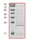 SDS-PAGE - RAC2 protein (His tag) (ab84655)