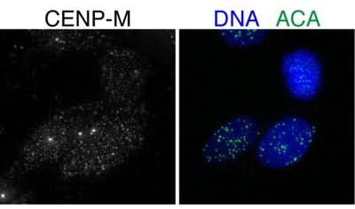 Immunocytochemistry/ Immunofluorescence - CENPM antibody (ab84669)