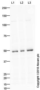 Western blot - Endothelin A Receptor antibody (ab84673)