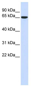 Western blot - CKAP4 antibody (ab84705)
