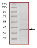 SDS-PAGE - Cdk6 protein (His tag) (ab84717)